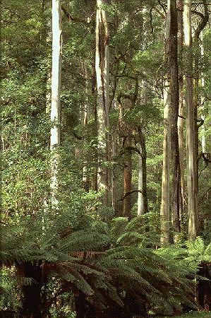 Eucalyptus  Dat
