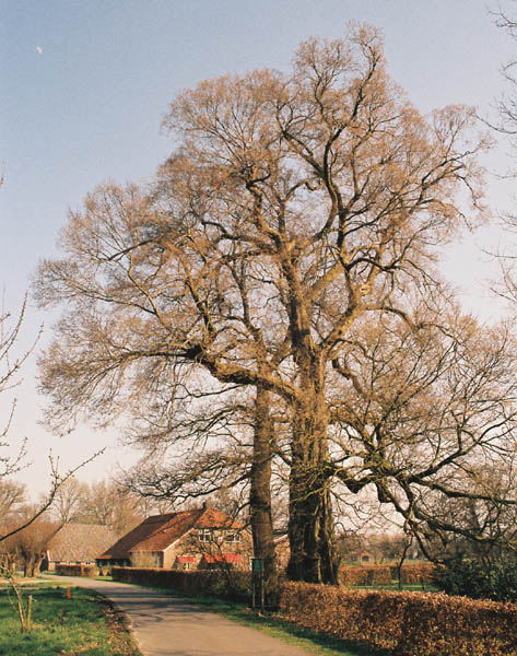 bomen hollandse iep